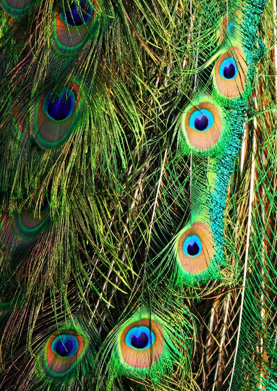Ansichtkaarten - Pauwenveren
