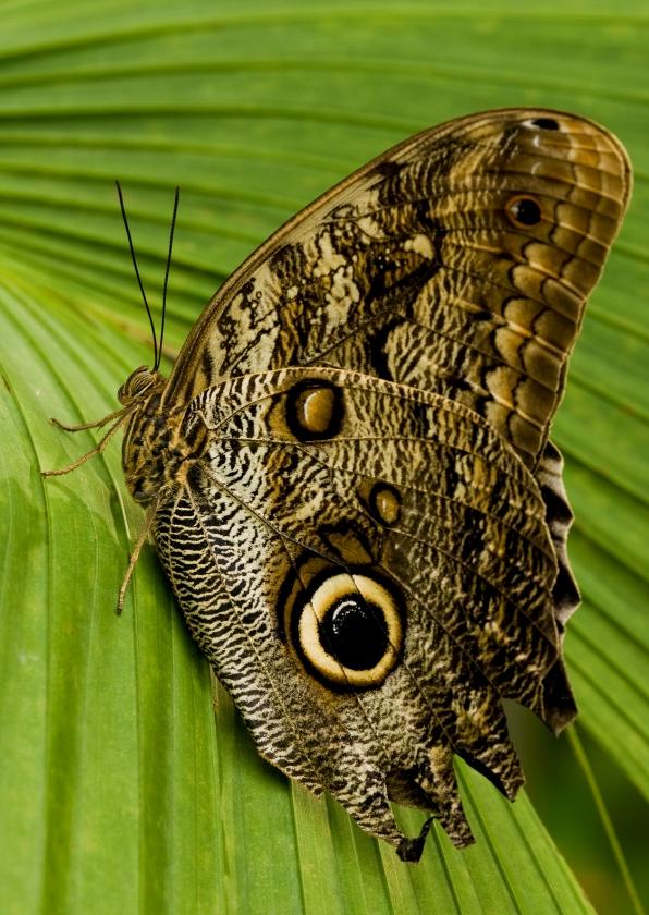 Ansichtkaarten - Uilvlinder