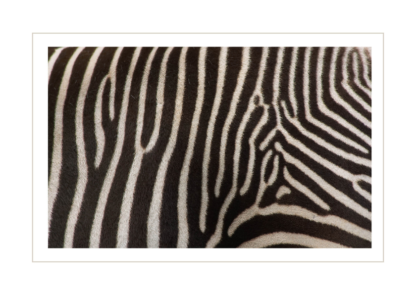 Ansichtkaarten - Zebra dierenkaart 2
