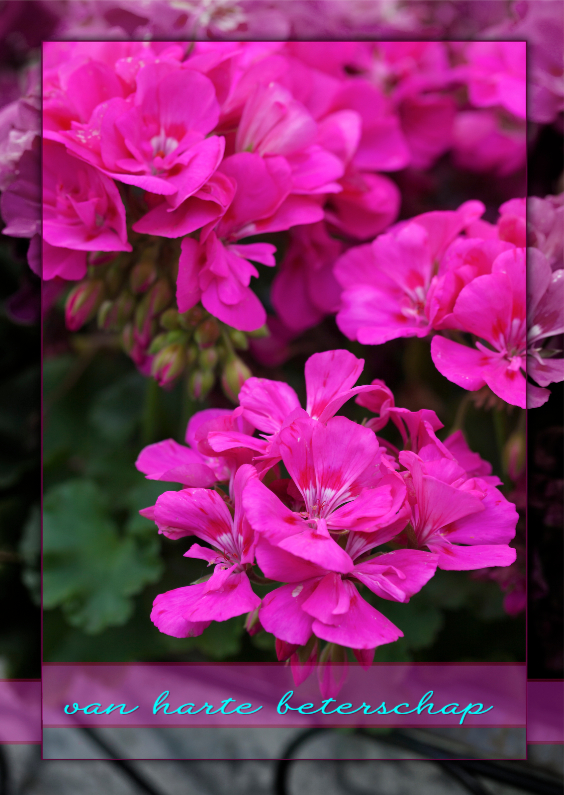 Beterschapskaarten - geraniums