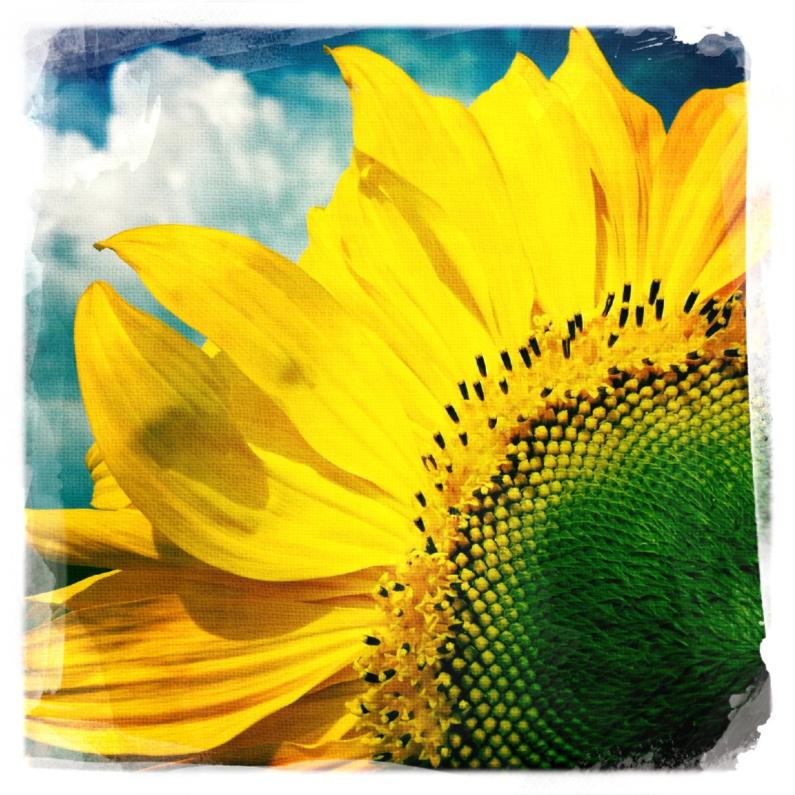 Beterschapskaarten - Zonnebloem in het veld