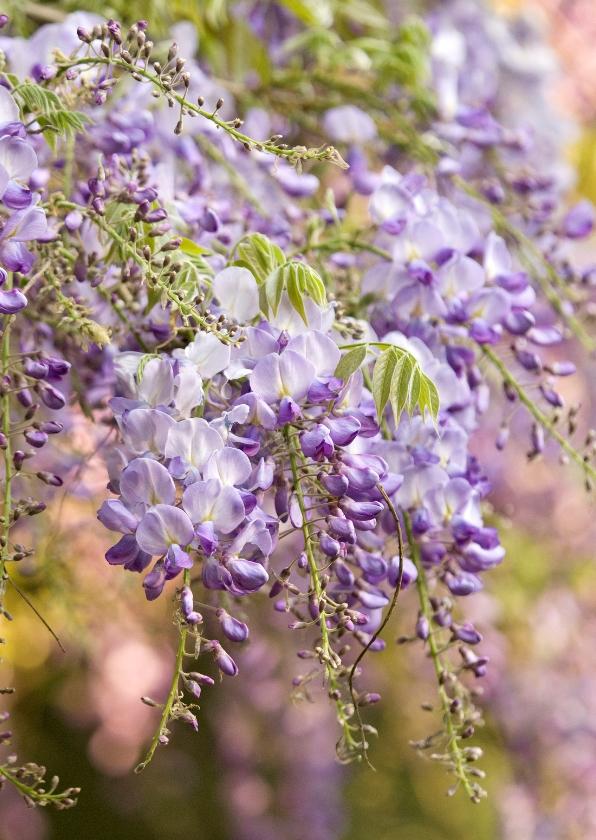 Bloemenkaarten - Bloeiende blauwe regen
