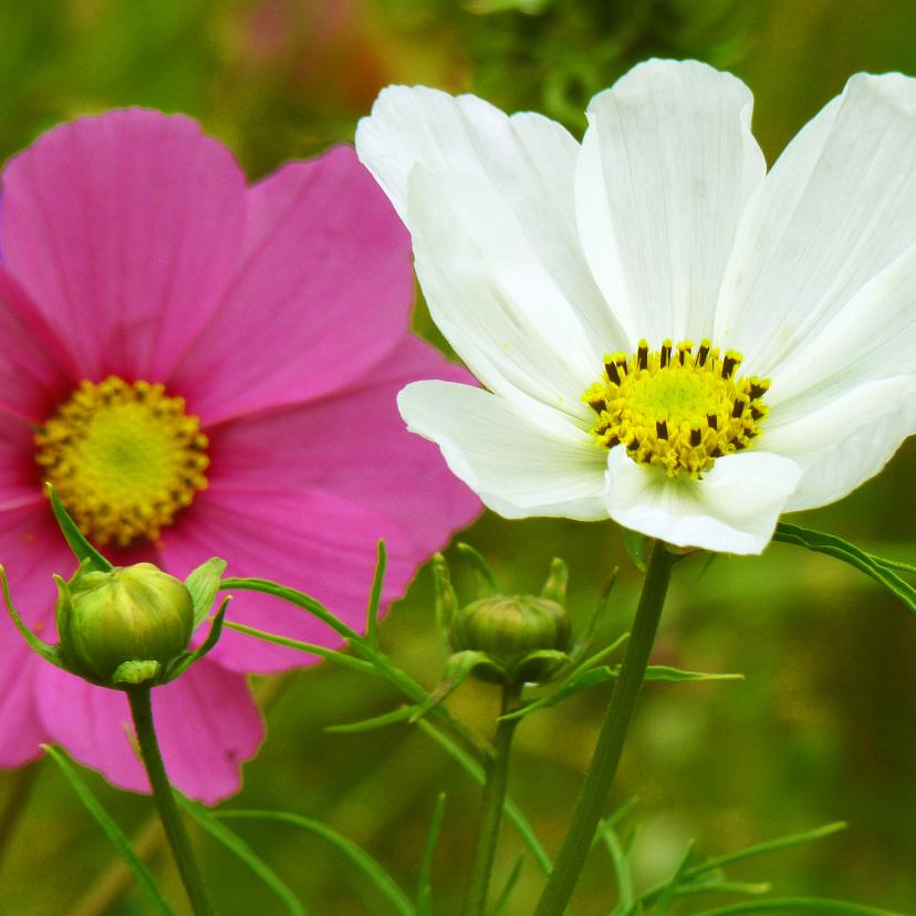 Bloemenkaarten - Bloemenkaart papaver