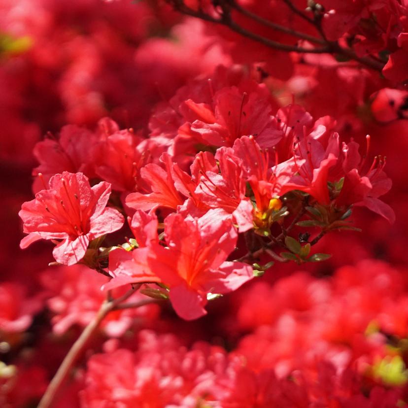 Bloemenkaarten - Bloemenkaart rode rhododendron