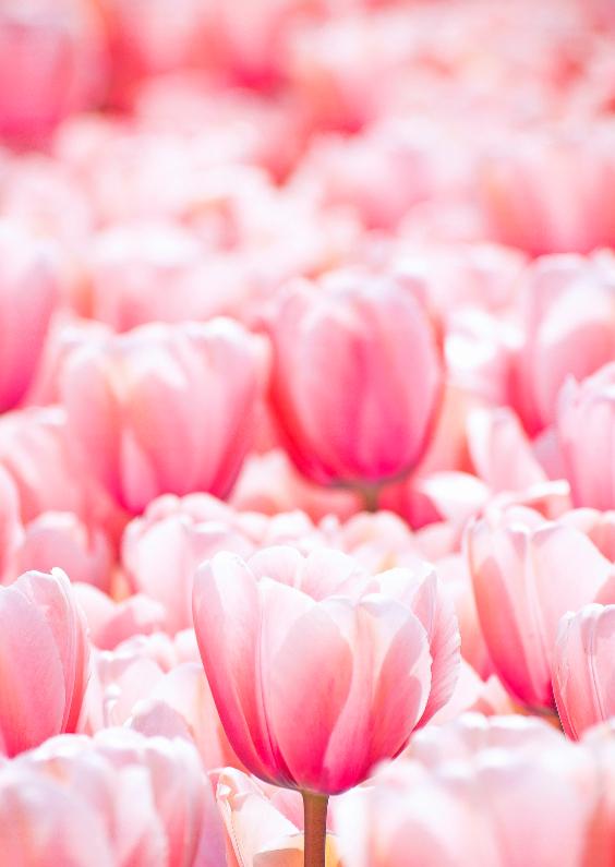 Bloemenkaarten - Bloemenkaart - Roze Tulpenveld