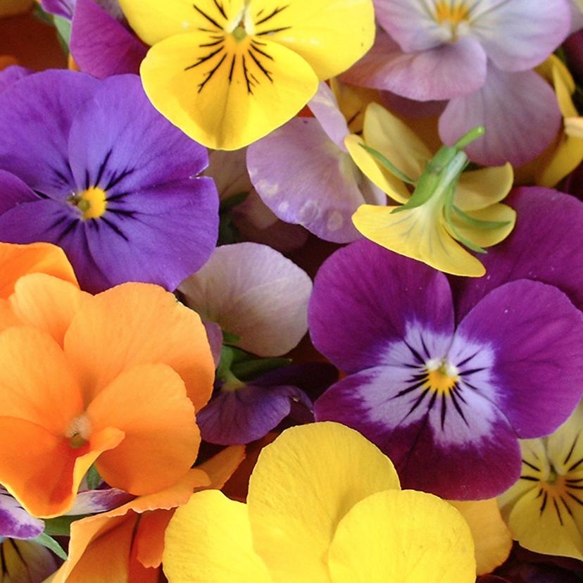Bloemenkaarten - Bloemenkaart viooltjes