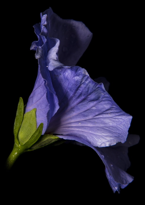 Bloemenkaarten - Bloemkaart, Hibiscus paars