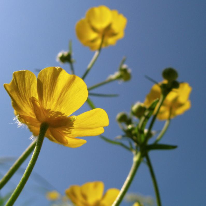 Bloemenkaarten - boterbloemen in de zon -3-
