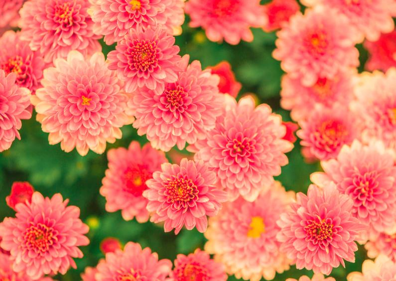 Bloemenkaarten - Dahlia's - DH