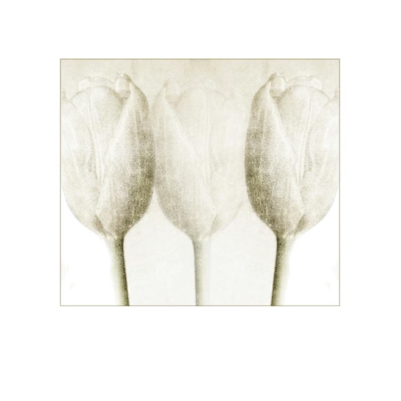 Bloemenkaarten - drie witte tulpen