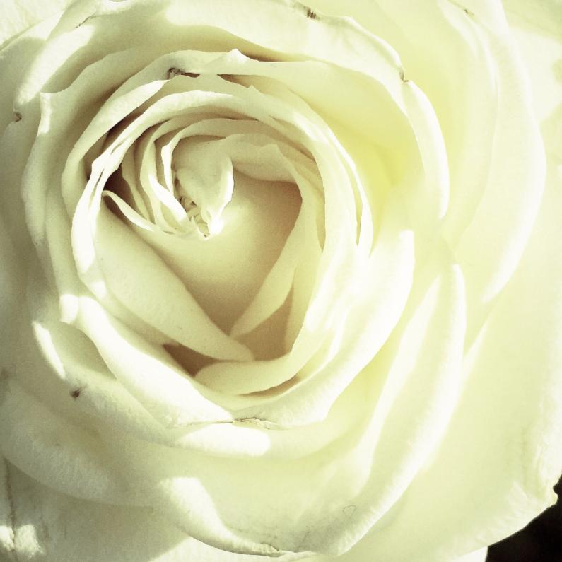 Bloemenkaarten - een witte roos