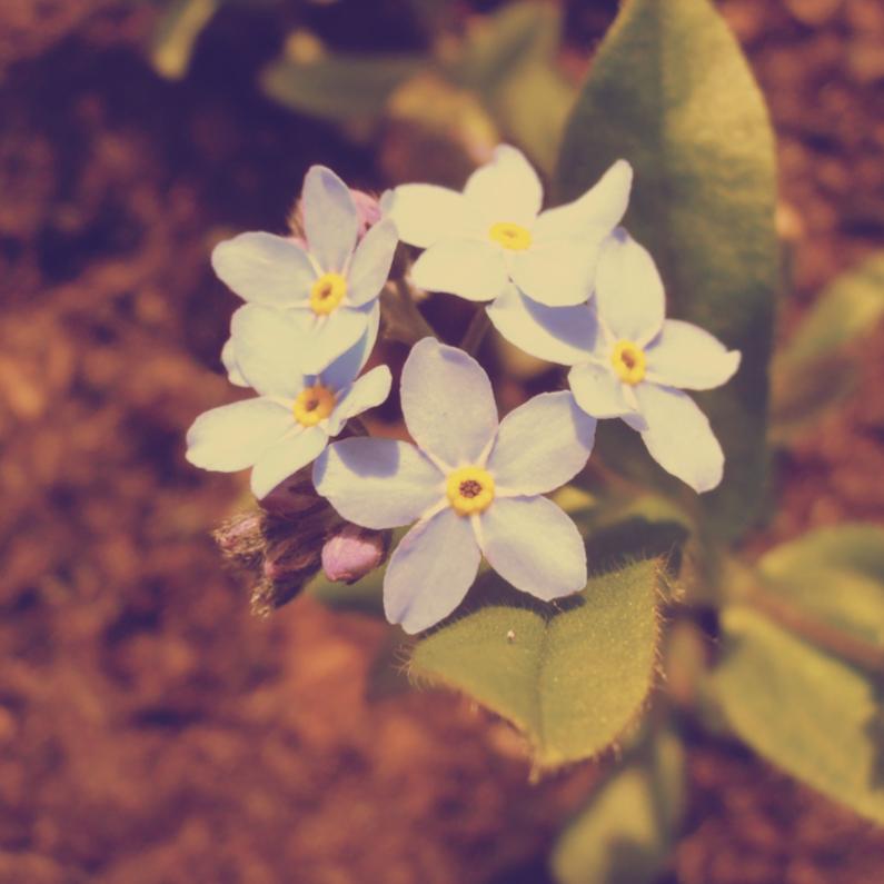 Bloemenkaarten - forget-me-not