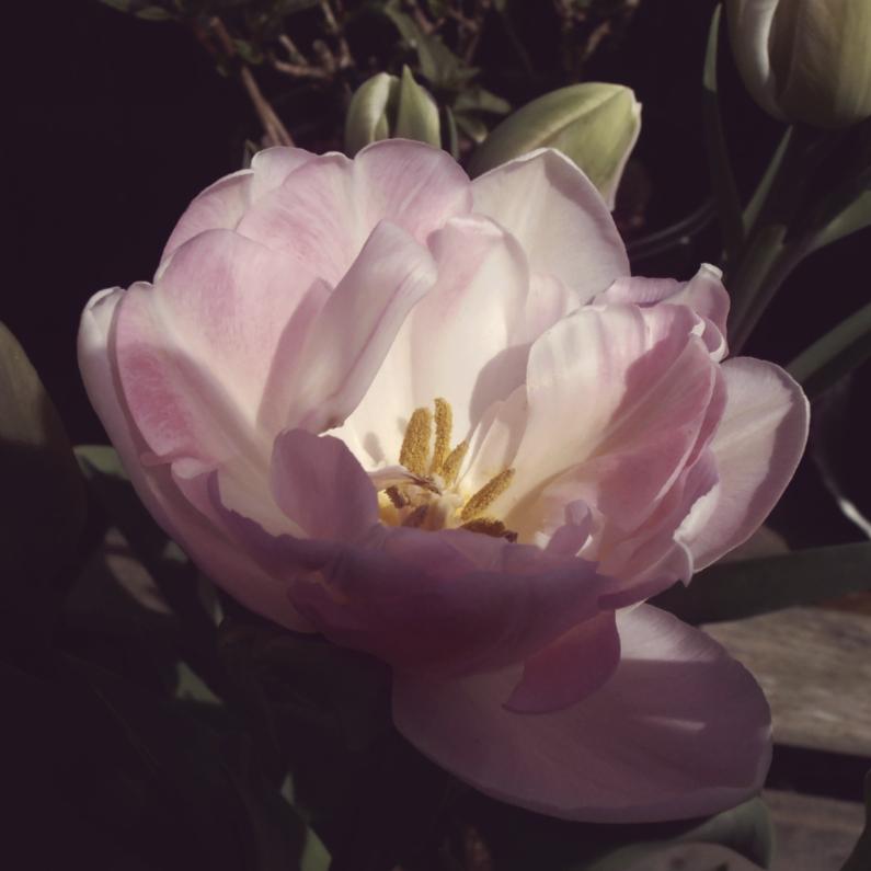 Bloemenkaarten - hoopgevende tulp