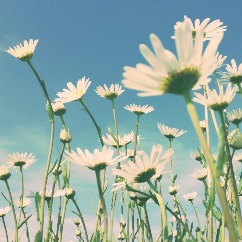 Bloemenkaarten - Kamilles in't veld