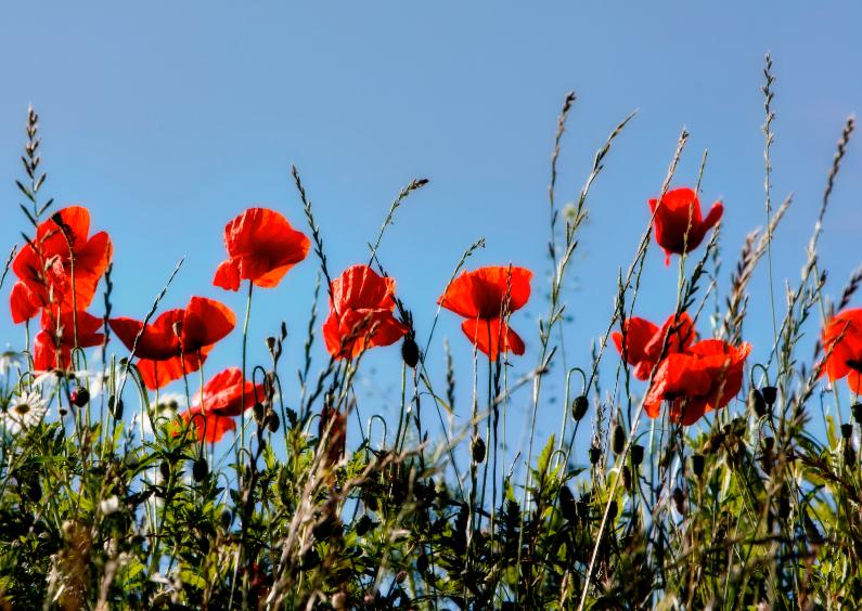 Bloemenkaarten - klatschrosen