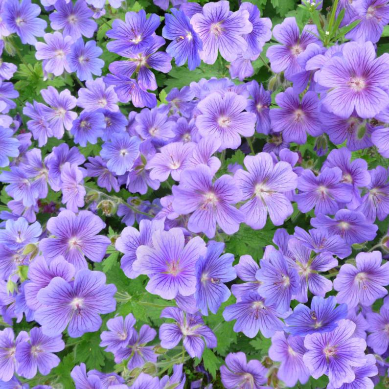 Bloemenkaarten - Mooie bloemenkaart met 50 kleuren blauw