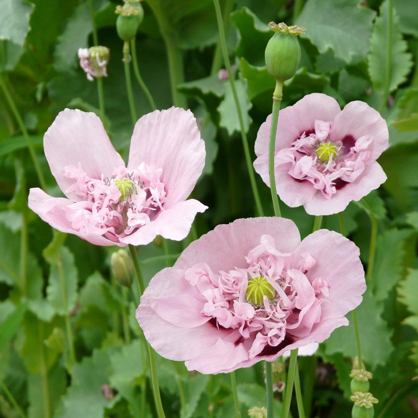Bloemenkaarten - Mooie bloemenkaart met roze klaprozen