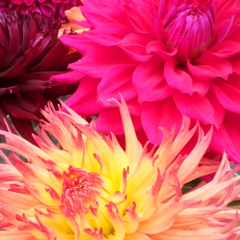 Bloemenkaarten - Mooie Dahlia's