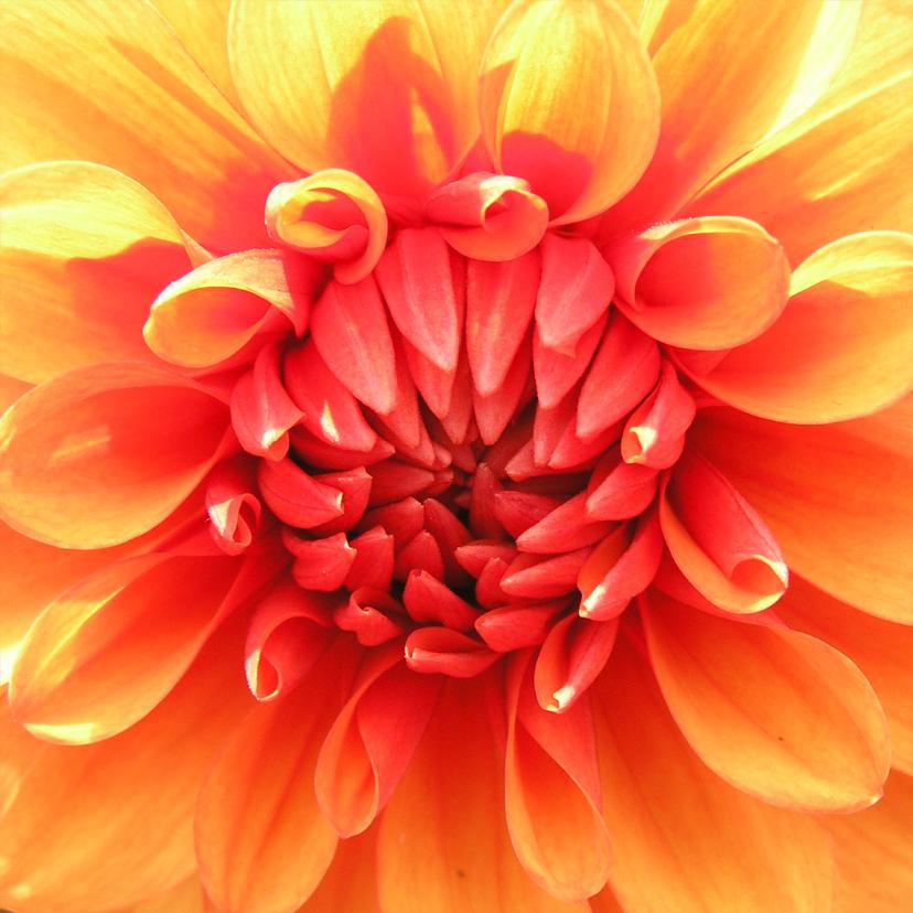 Bloemenkaarten - Oranje dahlia