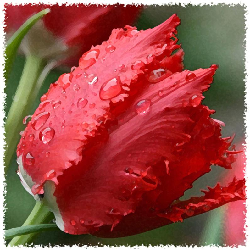 Bloemenkaarten - rode tulp van regen duppels vierkant