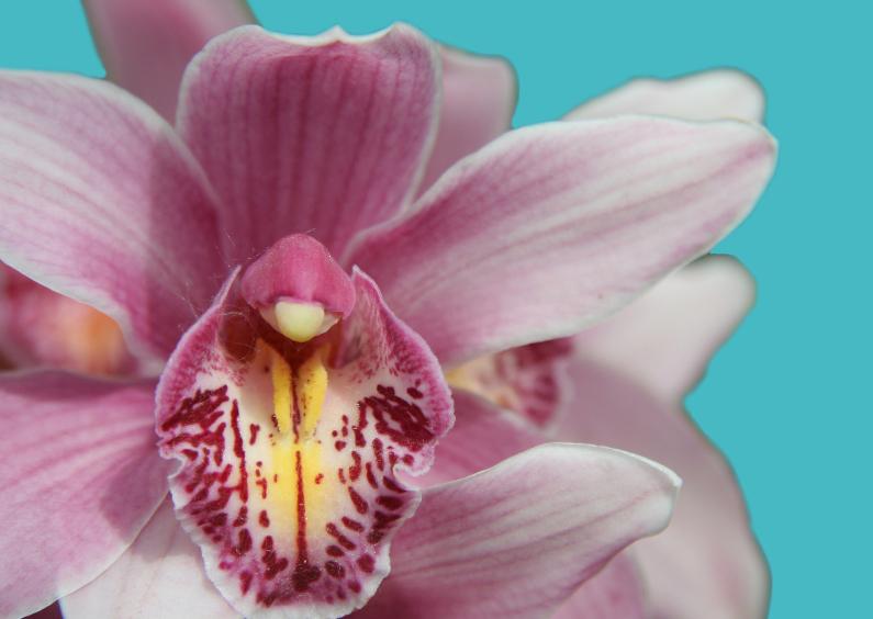 Bloemenkaarten - Roze orchidee op blauw vlak