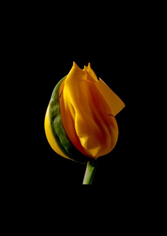 Bloemenkaarten - tulpgeel
