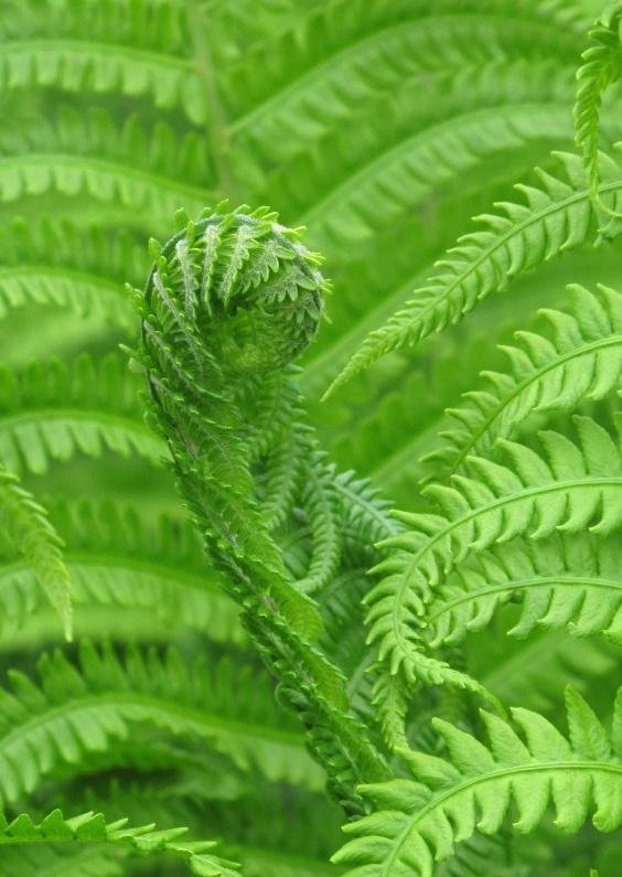 Bloemenkaarten - Varen - groene natuur - OTTI