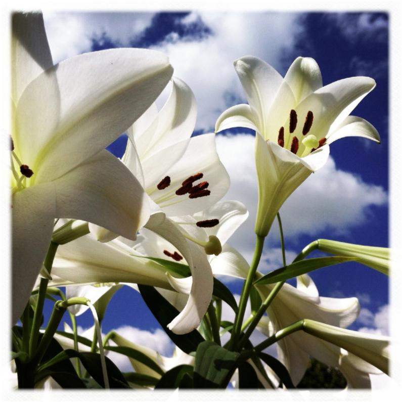 Bloemenkaarten - Witte lelies 2