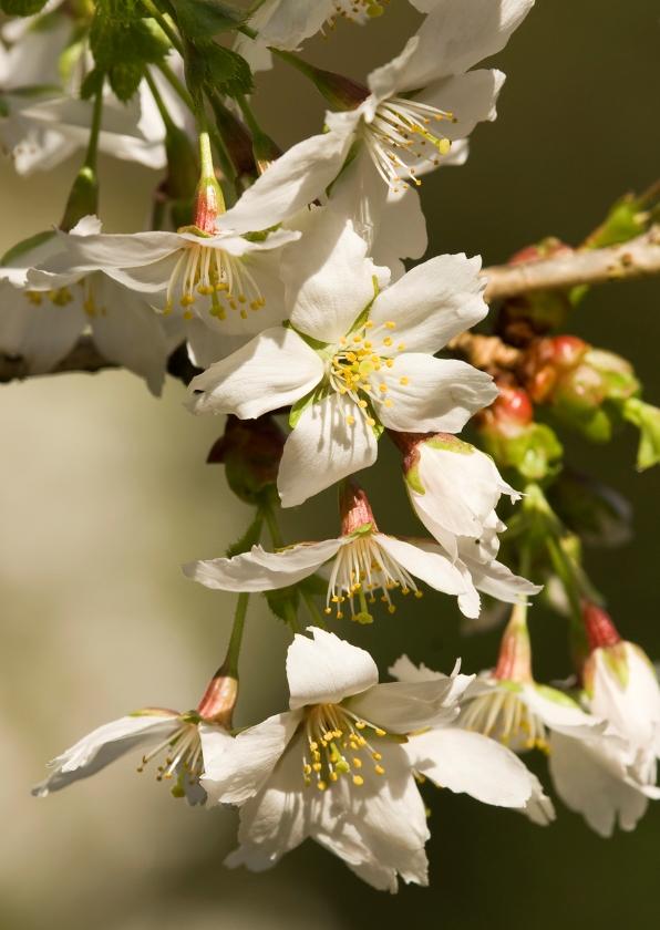 Bloemenkaarten - Witte lentebloesem