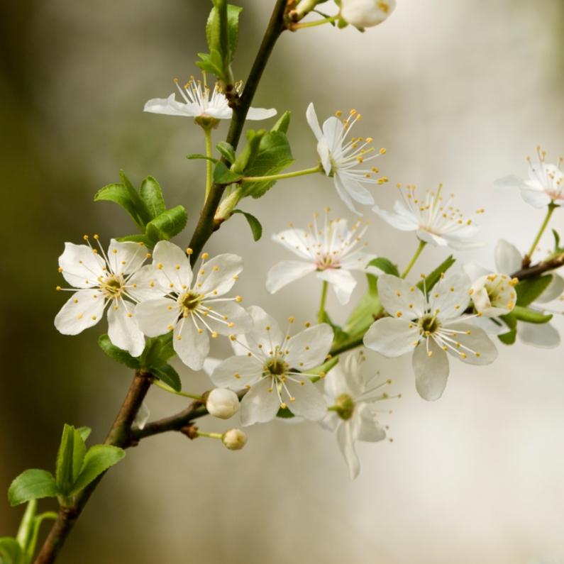 Condoleancekaarten - 4K Witte bloesem