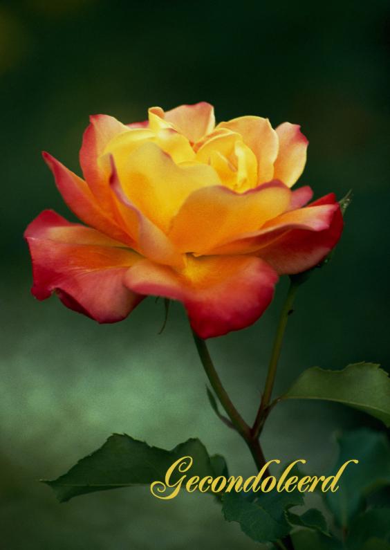 Condoleancekaarten - Een geel oranje roos-isf