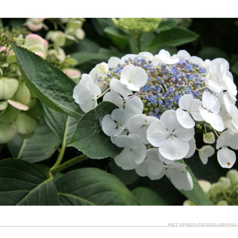 Condoleancekaarten - Hortensia met pijn in het hart