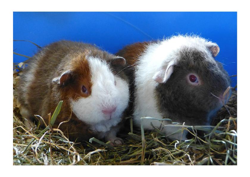Dierenkaarten - dieren Cavia broertjes