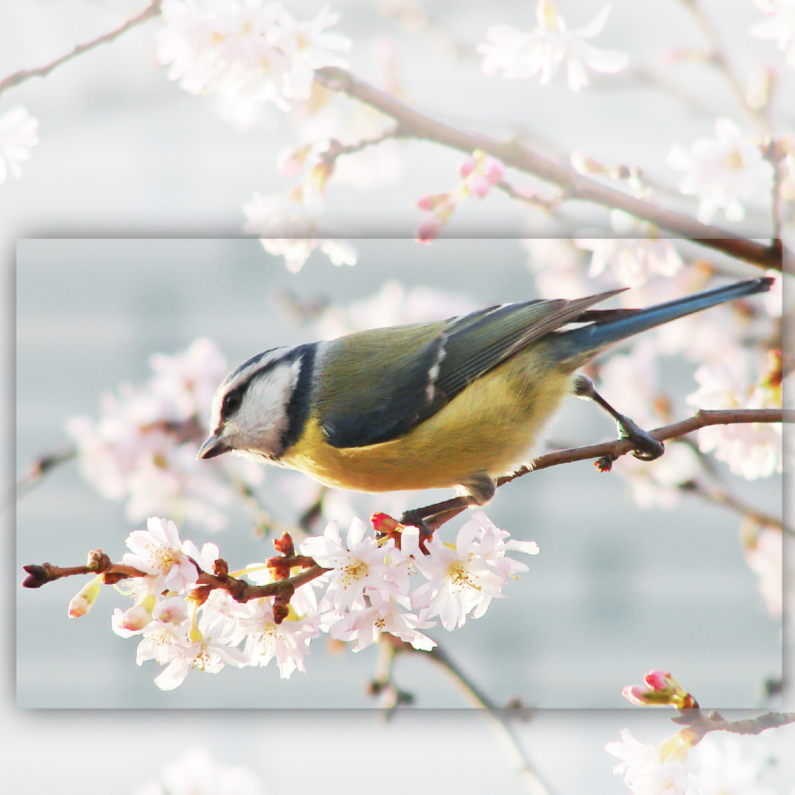 Dierenkaarten - Dierenkaart lentebloesem - pimpelmees