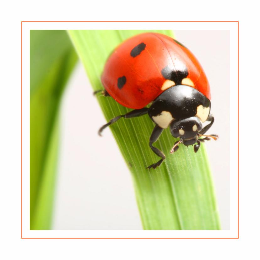 Dierenkaarten - Dierenkaart Lieveheersbeestje op gras