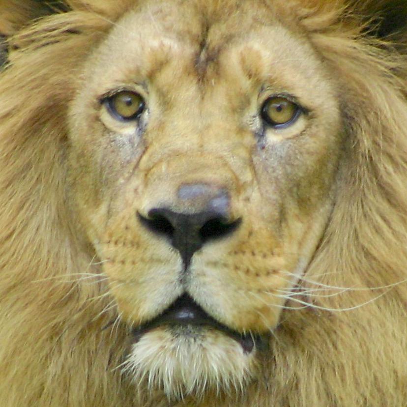 Dierenkaarten - Dierenkaart met foto van een leeuw