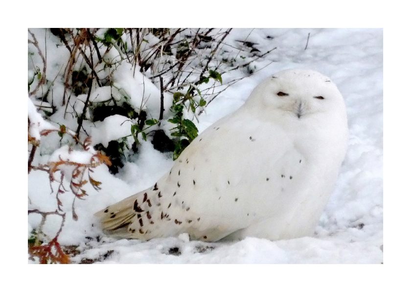 Dierenkaarten - Dierenkaart Sneeuwuil