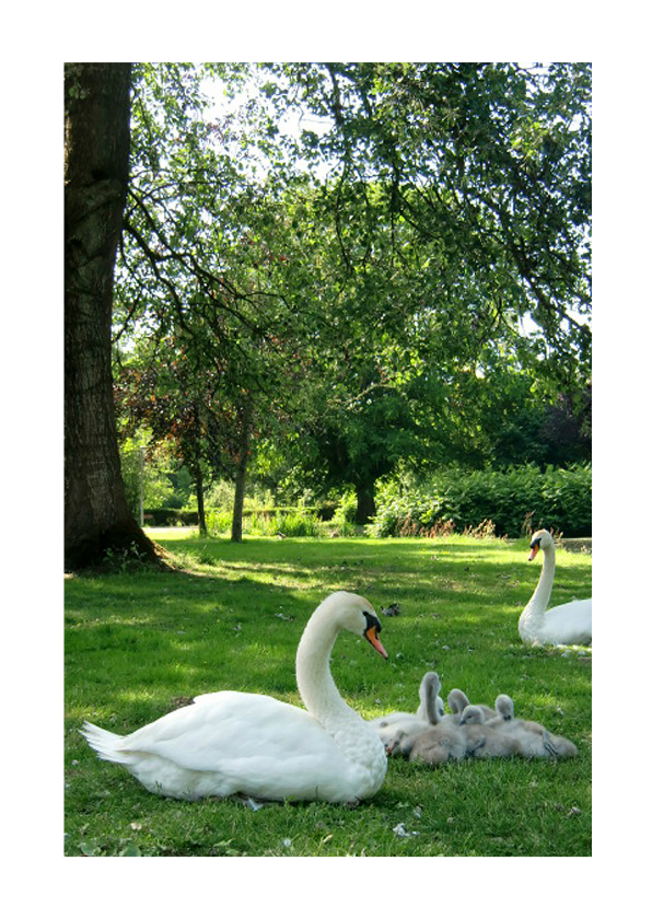 Dierenkaarten - dierenkaart Zwanenfamilie