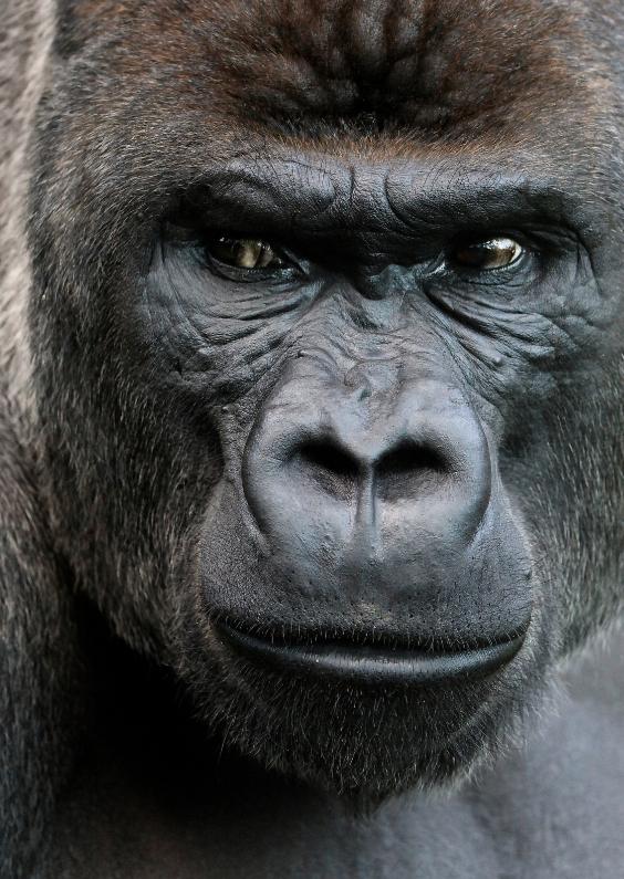 Dierenkaarten - Gorilla 1 - OT