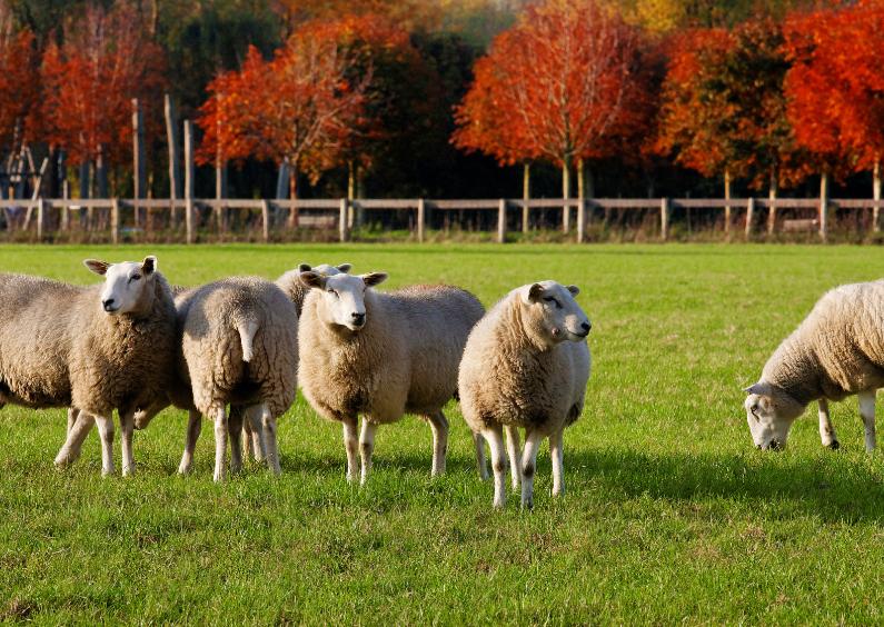 Dierenkaarten - Herfst bij de schapen - OT