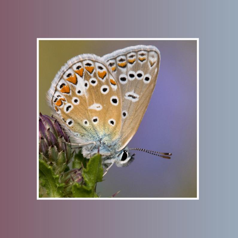 Dierenkaarten - Klein&Vierkant-BlauwtjeOpDistel