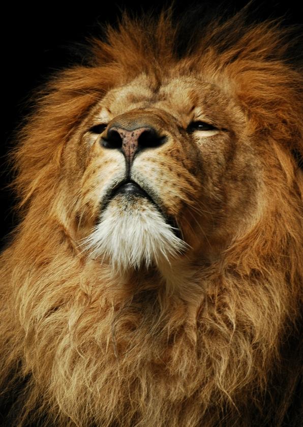 Dierenkaarten - Leeuw Ceasar