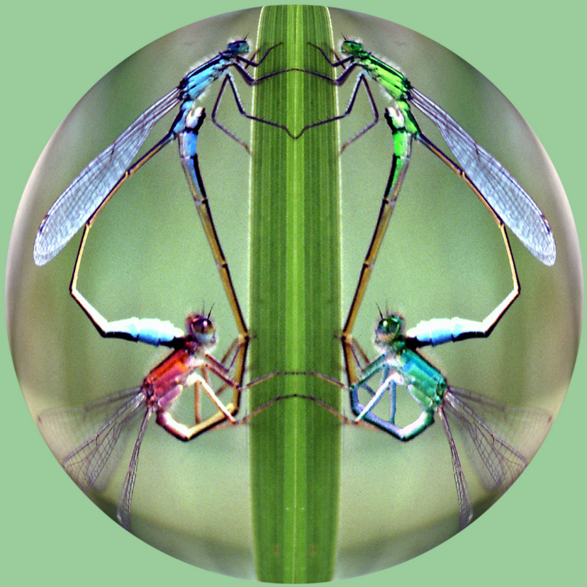 Dierenkaarten - Libelle Bol Blanco