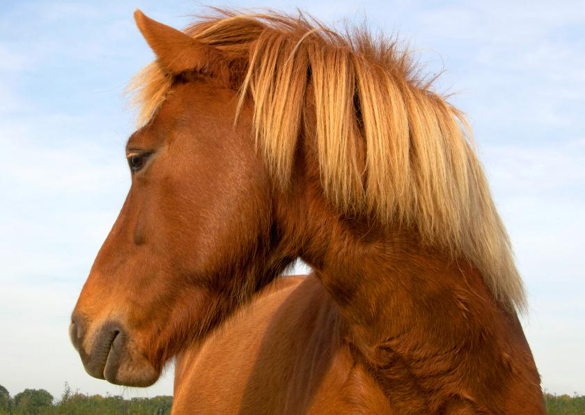 Dierenkaarten - Paardenkaart IJslandse pony