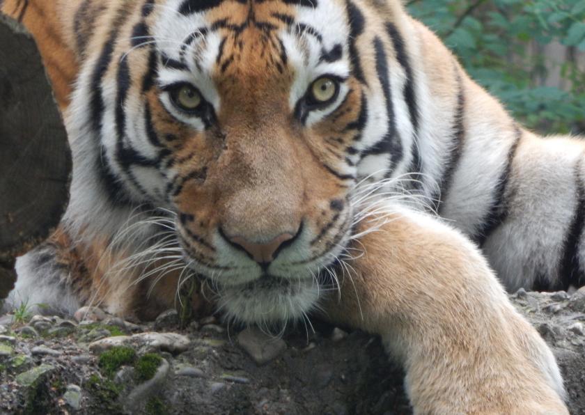 Dierenkaarten - tijger kijkt naar jouw