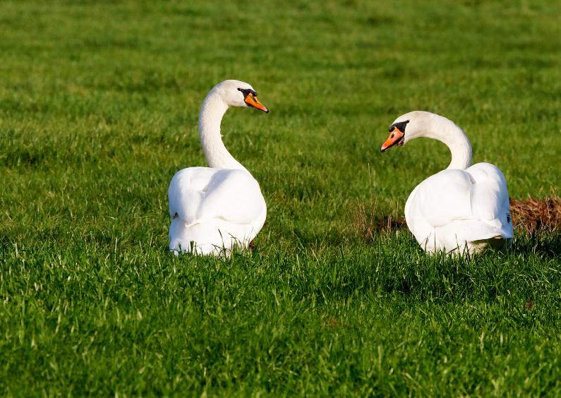 Dierenkaarten - Zwanen - Swans - OTTI