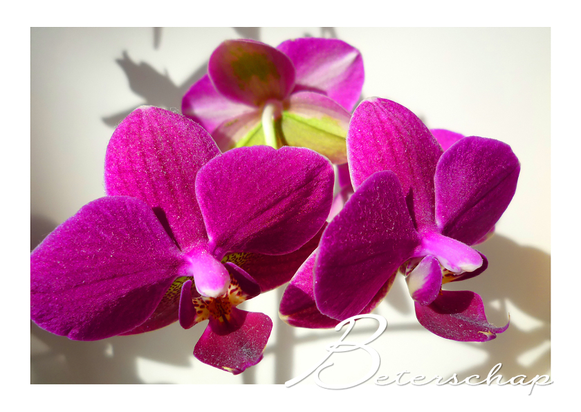 Beterschap Orchidee trio 1