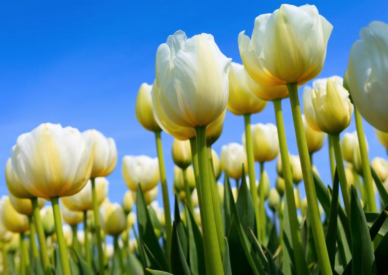 Bollenveld in bloei 1