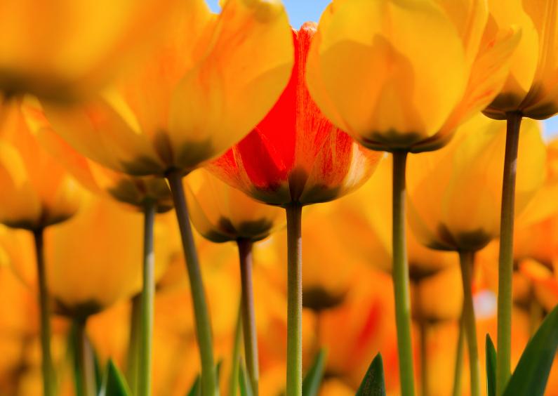 Gele tulpen in bloei 1
