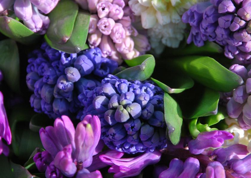 Hyacinten paars lila 1